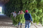 Michigan, USA: Workers harvesting hemp at the Paw Paw Hemp Company. Workers hanging the plants in a barn to dry. Many American farmers harvested their first crop in 2019 after growing hemp was legaliz... - Jim West - 1st,2010s,2019,Agency,agricultural,agriculture,America,American,americans,BAME,BAMEs,barn,BME,bmes,by hand,cannabidiol,cannabis,cannabis sativa,capitalism,casual workers,CBD,crop,crops,Diaspora,divers