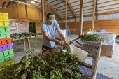 Michigan, USA: Workers harvesting hemp at the Paw Paw Hemp Company, worker stripping the flower heads and leaves from the hemp stalks. Many American farmers harvested their first crop in 2019 after gr... - Jim West - 1st,2010s,2019,agricultural,agriculture,America,American,americans,by hand,cannabidiol,cannabis,cannabis sativa,capitalism,CBD,Company,crop,crops,DRUG,DRUGS,EBF,Economic,Economy,employee,employees,Emp