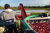 Michigan, USA: Workers harvesting cranberries, DeGRandchamp Farms. The cranberry bog is flooded allowing the floating fruit to be collected. - Jim West - 10-10-2019
