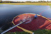 Michigan, USA: Workers harvesting cranberries, DeGRandchamp Farms. The cranberry bog is flooded allowing the floating fruit to be collected. - Jim West - 2010s,2019,agricultural,agriculture,America,autumn,AUTUMNAL,bed,beds,boom,capitalism,casual workers,cranberries,cranberry,cranberry bed,cranberry bog,crop,crops,DeGrandchamp Farms,EBF,Economic,Economy