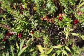 Michigan, USA: Cranberries growing, DeGRandchamp Farms - Jim West - 10-10-2019