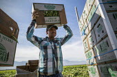 Coachella Valley, California, USA: Farmworkers picking green beans. Loading boxes of beans onto a truck in the field - David Bacon - 2010s,2019,agricultural,agriculture,Baloian Farms,BAME,BAMEs,beans,BME,bmes,box,boxes,by hand,California,capitalism,carries,carry,carrying,casual workers,crop,crops,Diaspora,diversity,EARNINGS,EBF,Eco