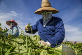 Coachella Valley, California, USA: Farmworkers picking green beans, sorting - David Bacon - 2010s,2019,agricultural,agriculture,Baloian Farms,BAME,BAMEs,beans,BME,bmes,by hand,California,capitalism,casual workers,crop,crops,Diaspora,diversity,EARNINGS,EBF,Economic,Economy,employee,employees,