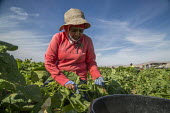 Coachella Valley, California, USA: Farmworkers picking green beans - David Bacon - 2010s,2019,agricultural,agriculture,Baloian Farms,BAME,BAMEs,beans,BME,bmes,bucket,buckets,by hand,California,capitalism,casual workers,crop,crops,Diaspora,diversity,EARNINGS,EBF,Economic,Economy,empl