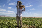 Coachella Valley, California, USA: Farmworkers picking green beans - David Bacon - 2010s,2019,agricultural,agriculture,Baloian Farms,BAME,BAMEs,beans,BME,bmes,bucket,buckets,by hand,California,capitalism,carries,carry,carrying,casual workers,crop,crops,Diaspora,diversity,EARNINGS,EB