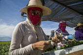 Coachella Valley, California, USA: Farmworkers picking green beans, sorting - David Bacon - 13-11-2019