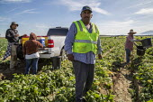 Coachella Valley, California, USA: Farmworkers picking green beans. Checker weighing picked beans. Workers taking a break next to the harvester - David Bacon - 2010s,2019,agricultural,agriculture,Baloian Farms,BAME,BAMEs,bandanna,beans,BME,bmes,break,break time,breaktime,bucket,by hand,California,capitalism,casual workers,crop,crops,Diaspora,diversity,EARNIN