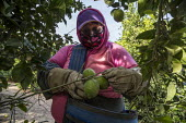 California, USA: Farmworkers picking lemons, Coachella Valley. Workers in this crew are Purepecha immigrants from Ocomichu, Michoacan - David Bacon - 2010s,2019,agricultural,agriculture,BAME,BAMEs,beans,BME,bmes,bucket,buckets,by hand,California,capitalism,carries,carry,carrying,casual workers,crew,crop,crops,Diaspora,diversity,EARNINGS,EBF,Economi