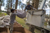 California, USA, Crew of farmworkers picking deglet dates, Coachella Valley. Two pickers work in bucket hoists, two bang the fronds against the bins to strip the dates from the branches - David Bacon - 2010s,2019,against,agricultural,agriculture,America,bag,bags,bin,bins,BRANCH,branches,by hand,California,capitalism,cherry picker,Coachella Valley,Crew,crop,crops,date,Date Palm,date palms,deglet noor