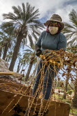 California, USA, Crew of farmworkers picking deglet dates, Coachella Valley. Two pickers work in bucket hoists, two bang the fronds against the bins to strip the dates from the branches - David Bacon - 2010s,2019,against,agricultural,agriculture,America,bag,bags,bin,bins,BRANCH,branches,by hand,California,capitalism,Coachella Valley,Crew,crop,crops,date,Date Palm,date palms,deglet noor dates,Diaspor