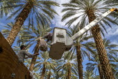 California, USA, Crew of farmworkers picking deglet dates, Coachella Valley. Two pickers work in bucket hoists, two bang the fronds against the bins to strip the dates from the branches - David Bacon - 14-11-2019
