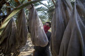 California, USA, Crew of farmworkers picking deglet dates, Coachella Valley - David Bacon - 2010s,2019,agricultural,agriculture,America,bag,bags,bin,by hand,California,capitalism,cherry picker,Coachella Valley,Crew,crop,crops,date,Date Palm,date palms,deglet noor dates,Diaspora,EARNINGS,EBF,