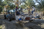 California, USA, Crew of farmworkers picking deglet dates, Coachella Valley - David Bacon - 14-11-2019
