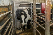 Omro, Wisconsin, USA, dairy farm with automated milking machines. A cow leaving the Lely Astronaut machine after being milked, Knigge Farms - Jim West - 04-11-2019