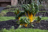 Swiss Chard, Hill Close Gardens, Warwick - restored Victorian hedged gardens - John Harris - 02-02-2020