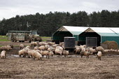 Pig farming, North Farm Livestock, Bayfield, Norfolk - John Harris - 17-02-2020