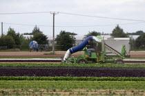 Driving a HOOVER XL leaf vacuum machine sucking up lettuce crop, Warwickshire - John Harris - 23-07-2020