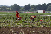 Migrant agricultural workers harvesting red cabbage, Warwickshire - John Harris - 23-07-2020