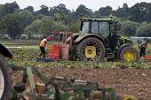 Migrant agricultural workers harvesting red cabbage, Warwickshire, loading onto a tractor pallet - John Harris - 23-07-2020