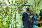 Detroit, USA, Workers harvesting cannabis, Viola Brands, a company founded by NBA veteran Al Harrington. Michigan residents voted to legalize medical marijuana in 2008 and recreational marijuana in 20... - Jim West - 13-07-2020