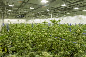 Detroit, USA. Cannabis growing, Viola Brands, a company founded by NBA veteran Al Harrington. Michigan residents voted to legalize medical marijuana in 2008 and recreational marijuana in 2018. - Jim West - 13-07-2020