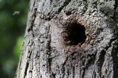 Wild bee nest in a hole in a tree trunk, Hampton Wood, Warwickshire - John Harris - 29-07-2020
