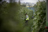 Migrant farmworker picking green beans, Warwickshire - John Harris - 28-07-2020