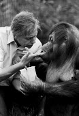 David Attenborough and Bulu the orangutan 1982 London Zoo. He often visited the offspring of an orphaned orangutan he brought back during the third series of the programme Zoo Quest. Due to his surrog... - NLA - 02-04-1982