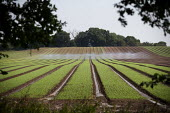 Irrigation of salad crops by traveling sprinkler, Warwickshire - John Harris - 12-08-2020
