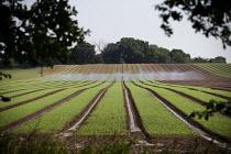 Irrigation of salad crops by traveling sprinkler, Warwickshire - John Harris - 12-08-2020