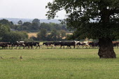 Heard of cows walking to milking parlor, Warwickshire - John Harris - 15-08-2020