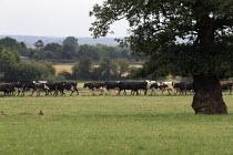 Heard of cows walking to milking parlor, Warwickshire - John Harris - 15-08-2020