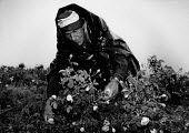 Worker picking roses in the rain, Rose Valley Bulgaria, 1992. The Rose Valley of Kazanlak is famous for its rose growing industry which have been cultivated there for centuries - Melanie Friend - 04-06-1992