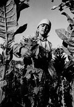 Turkish woman picking tobacco near Djebel, Bulgaria, 1993 - Melanie Friend - 26-08-1993