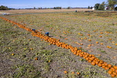 Michigan, USA. Migrant farmworkers harvesting pumpkins - Jim West - 13-10-2020