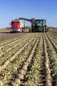 USA Michigan-Harvesting Sugar Beet. Michigan Sugar Company - a farmer owned cooperative- makes about 1.1 billion pounds of sugar each year. - Jim West - 28-10-2020