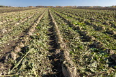 Michigan, USA Sugar beets growing in a field about to the harvested. The Michigan Sugar Company- a farmer owned cooperative- makes about 1.1 billion pounds of sugar each year. - Jim West - 28-10-2020