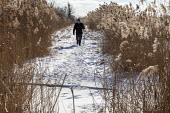 Algonac, Michigan, USA: Man hiking, St. John's Marsh, a wet prairie with hiking trails. Native cattails and other plants have been largely replaced by the invasive phragmites. - Jim West - 07-02-2021