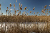 Algonac, Michigan, USA - St. John's Marsh, a wet prairie. Native cattails and other plants have been largely replaced by the invasive phragmites. - Jim West - 07-02-2021
