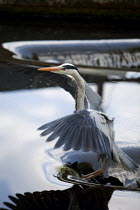 15-05-2010 - A Grey Heron (Ardea cinerea) fishing on the River Chess at Batchworth Lock, Rickmansworth, in Hertfordshire. © David Mansell
