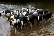 07-06-2015 - Appleby Horse Fair, Cumbria, washing horses in the River Eden © David Mansell
