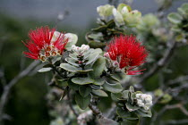 16-02-2010 - Metrosideros polymorpha, Ohia lehua plants begin to emerge in a lava flow. Lehua blossoms. Plants growing in a solidified lava field. Kau Desert in the southwestern area of the park, it is a large exp... © David Bacon
