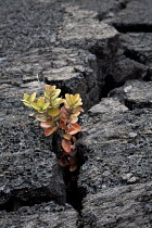 16-02-2010 - Plants growing in a solidified lava field. Kau Desert in the southwestern area of the park, it is a large expanse of semi-arid lava plain. Big Island, Hawaii, USA. © David Bacon