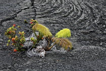 16-02-2010 - Vaccinium reticulatum, Ohelo Ai, Hawaiian Blueberry and Cocos nucifera coconut palm. Plants growing in a solidified lava field. Kau Desert in the southwestern area of the park, it is a large expanse o... © David Bacon