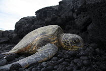 23-02-2010 - A green sea turtle suns itself on the rocks near the shore, on the windward (eastern) side of the big island of Hawaii. Big Island, Hawaii, USA. © David Bacon