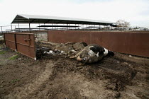 01-02-2010 - Feedlot, Central Valley, California, USA which produces milk in industrial conditions.Bodies of dead cows are left in the open next to the highway, awaiting collection by a disposal company. © David Bacon