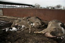 01-02-2010 - Feedlot Central Valley, California, USA which produces milk in industrial conditions.Bodies of dead cows are left in the open next to the highway, awaiting collection by a disposal company. © David Bacon