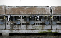 01-02-2010 - A dairy Central Valley, California, Tulare and Kern Counties, produce milk in industrial conditions. Young dairy cows live in cramped stalls in rundown sheds that are so narrow they can hardly turn ar... © David Bacon