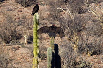 11-02-2011 - Vultures perch on saguaro cactus near the Laguna de San Ignacio, a marine ecoreserve for migratory birds, El Vizcano Biosphere Reserve, Sonoran Desert, Mexico © David Bacon