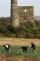 19-01-2006 - Daffodils pickers near the village of Brae near Camborne in Cornwall. Local pickers are joined by Polish and Lithuanian labourers and receive 8p per bunch which goes down to 6p when the season picks u... © Geoff Crawford